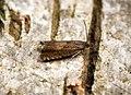 (1287) Dichrorampha aeratana - Gen Det (26831947154).jpg