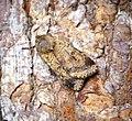 (2120) Ingrailed Clay (Diarsia mendica) (34889132792).jpg