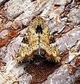 (2335) Slender Brindle (Apamea scolopacina) (27963893853).jpg