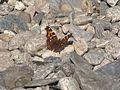 Бабочка на камнях Байкала.jpg
