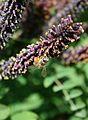 Бджола медоносна (Apis mellifera) 04.jpg