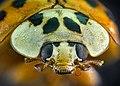 Жовте сонечко Psyllobora vigintiduopunctata.jpg