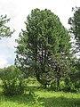 Заякинская кедровая роща 04.jpg