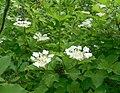 Калина обыкновенная цветы станция Жасминная Саратов.jpg