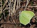Крушинница- Common Brimstone - Gonepteryx rhamni - Лимонница - Zitronenfalter (13220914674).jpg