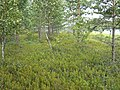 Кущи по берегу оз. Хенеярви, 01.08.2007 - panoramio.jpg