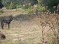 Шкорпиловци - магарета.jpg