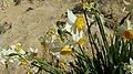 נרקיסים בנחל חצץ - OVEDC - 07.jpg