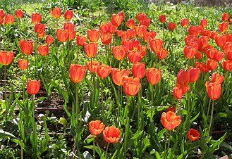 Tulip - ''Tulipa'' × ''gesneriana''