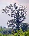 عکس از یک تک درخت، نمک آبرود استان مازندران.jpg