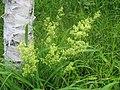 カワラマツバ Galium verum var. asiatica f. nikkoense.JPG