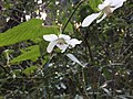ナガバモミジイチゴの下向きに咲く花.jpg