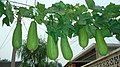 丝瓜(短粗胖品种)Snake gourd (but this one is short & thick) - panoramio.jpg