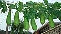 丝瓜(短粗胖品种)Snake gourd (but this one is short & thick) - panoramio.jpg