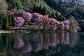 中綱湖のオオヤマザクラ - panoramio (1).jpg
