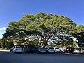 十一份集福宮側照與榕樹.jpg