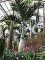 南山植物园-温室-棍棒椰子 - panoramio.jpg