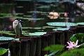 台北植物園荷花池 - panoramio (2).jpg