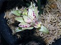 四季富山 Cymbidium ensifolium 'Fu-shan' -香港沙田國蘭展 Shatin Orchid Show, Hong Kong- (12147562386).jpg