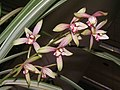四季福隆 Cymbidium ensifolium -香港沙田國蘭展 Shatin Orchid Show, Hong Kong- (12167962204).jpg