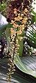 小葉寄樹蘭 Robiquetia succisa -香港嘉道理農場 Kadoorie Farm, Hong Kong- (9673310326).jpg