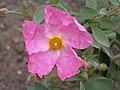 岩薔薇屬 Cistus argenteus Silver Pink -英格蘭 Wisley Gardens, England- (9152017666).jpg