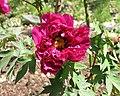 日本牡丹-豐麗 Paeonia suffruticosa Horei -日本大阪長居植物園 Osaka Nagai Botanical Garden, Japan- (40579018040).jpg