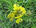 染料木屬 Genista radiata -比利時 Ghent University Botanical Garden, Belgium- (9216070666).jpg
