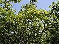 柿の木の新緑に映える - panoramio.jpg