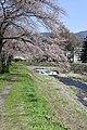 横河川桜1 - panoramio.jpg