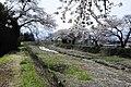 横河川桜3 - panoramio.jpg