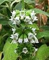 毒馬草屬 Sideritis infernalis -哥本哈根大學植物園 Copenhagen University Botanical Garden- (36724154180).jpg