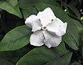番茉莉屬 Brunfelsia australis -荷蘭園藝展 Venlo Floriade, Holland- (9255168274).jpg