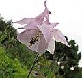 耬斗菜屬 Aquilegia nigricans -維也納高山植物園 Belvedere Alpine Garden, Vienna- (28973643480).jpg