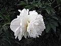 芍藥-冰山 Paeonia lactiflora 'Iceberg' -北京植物園 Beijing Botanical Garden, China- (12380141735).jpg