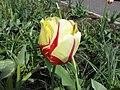 鬱金香-達爾文雜交型 Tulipa World Expression -荷蘭園藝展 Venlo Floriade, Holland- (9255243890).jpg