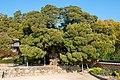 양동의 향나무.jpg