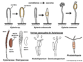 04 03 37 cuerpos fructíferos, ascosporas, formas asexuales, Xylariales, Ascomycota (M. Piepenbring).png