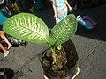 0546La Suerte lucky plant in the Philippines 02.jpg