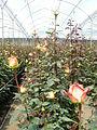 05 vrtnice (32).JPG