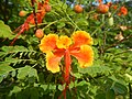 08988jfOrange flowers in the Philippinesfvf 03.jpg