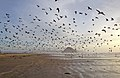 1000's of Gulls on Morro Strand State Beach at low tide with Morro Rock in background (6739436049).jpg