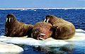 15 Walross 2001.jpg