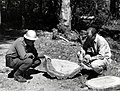 1955. Forest pathologists Drs. T.W. Childs and J. Clark (PNFRES) examine section from butt of 180 y.o. Douglas-fir infested with Poria weirii. (33456743306).jpg