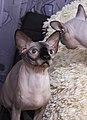 1 adult cat Sphynx. img 007.jpg