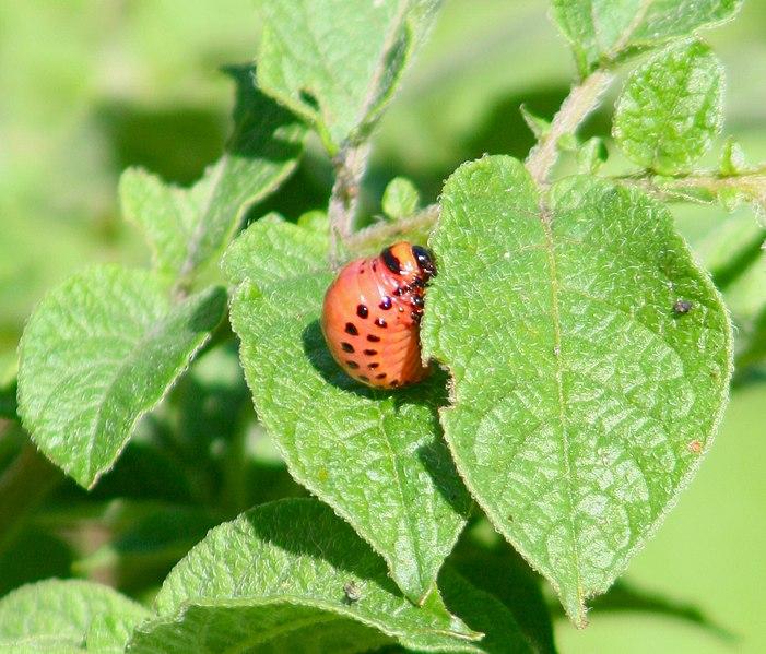 File:2006-07-16 larve4.jpg