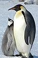 2007 Snow-Hill-Island Luyten-De-Hauwere-Emperor-Penguin-59.jpg