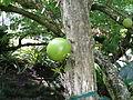 20121130 FosterBG CrescentiaCujete Cutler P1370652.jpg