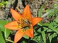 20130701 42 Tiger Lily (11789548486).jpg