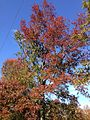 2014-11-02 13 02 30 Pin Oak during autumn along Lower Ferry Road in Ewing, New Jersey.JPG